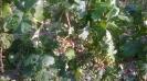 Jég és fagykár a szőlőben