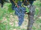 Szőlők - borok